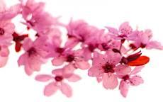 сакура, цветение, цветы, весна