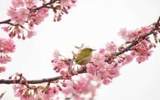 весна, цветущее дерево, цветы, птица на ветке