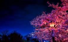 ночь, весна, фонарь, цветущее дерево