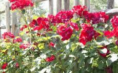 Красные розы у забора