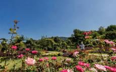 Розы в парке