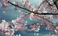 Весна, цветение, вишня, цветы, почки