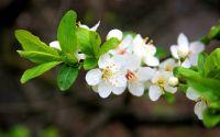 Весна, цветение, ветка, белые цветы