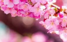 Цветущая сакура весной