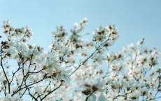Весна, цветущая вишня