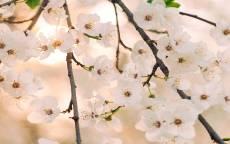 весна, цветение, белые цветы