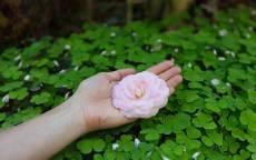 Белая роза в ладони