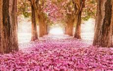 Весенняя аллея в розовом цвете
