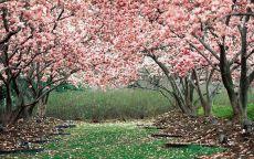 Вишневый сад весной