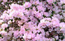 Весенние розовые цветы