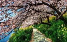 Тропинка под цветущими деревьями