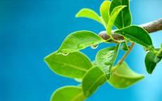 Весенние зеленые листья в росе на ветке