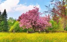 Весна розовое дерево