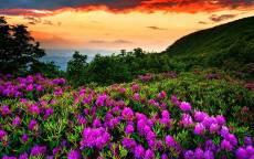 Сиреневые цветы на весеннем поле