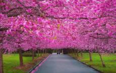 Аллея цветущая сакура