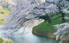 Цветущая сакура на берегу реки