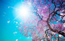 Весеннее цветение вишни