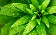 Молодые зеленые листья в росе