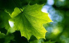 Зеленый лист клена
