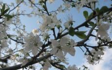 Белые цветки на яблоне