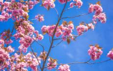 Весна, цветение, розовые цветы, синее небо
