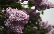 Весна, сирень, цветение, цветы