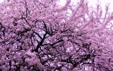 Весна, деревья, розовые цветы, цветение