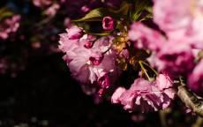 Весна, розовые цветы, цветение