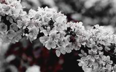 Весна, цветение, цветы, ветка