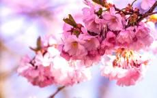 Весна, цветение, розовые цветы