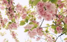 Весна, белое небо, розовые цветы, зеленые листья