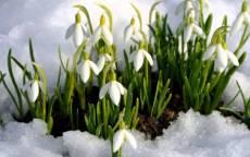 Весенние подснежники в снегу