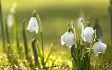 Белые подснежники весной