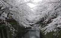 Япония, весна, цветущая сакура, мостик, канал