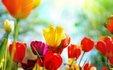Лето, цветы, тюльпаны, солнечные лучи
