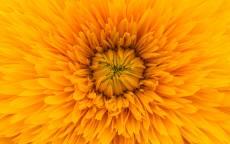 Желтый цветок, лепестки, лето
