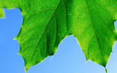 Лето, июнь, зеленый лист, кленовый лист, голубое небо