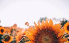 Поле, подсолнухи, семечки, цветок