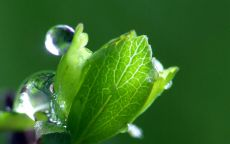 Роса на молодом листке