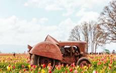 старый ретро трактор на поле тюльпанов