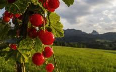 Красная, спелая смородина, зеленое поле